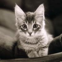Alert silver tabby kitten