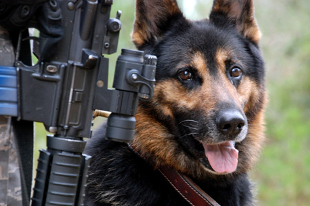 German Shepherd next to a soldier holding a gun