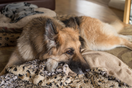 German Shepherd reclining moodily